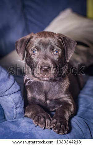 Black labrador puppy sitting on a blue sofa looking at the camera. #1060344218