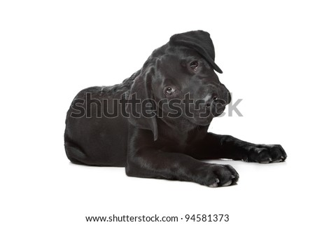 Black Labrador puppy,14 weeks old, in front of a white background