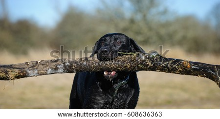 Black Labrador Retriever carrying huge stick #608636363