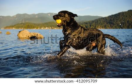 Black Labrador Retriever dog running through blue water carrying tennis ball