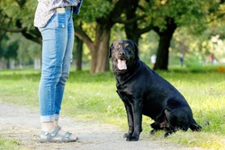 Black labrador retriever execute the command sit on pathway with it`s master