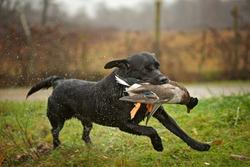 Black Labrador Retriever is running and fetching a duck. Duck hunting, labrador is retrieving game to hunter