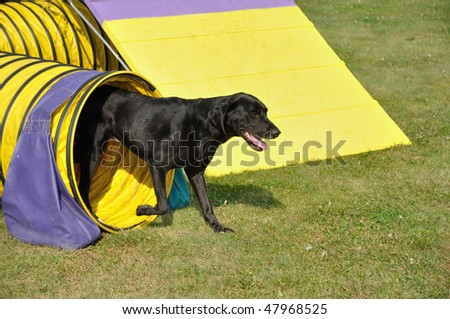 Black Labrador Retriever Leaving Yellow Tunnel at Dog Agility Trial