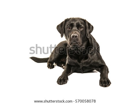 Black labrador retriever lying on the floor facing the camera isolated on a white background #570058078