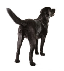 Black Labrador Retriever 18 months old isolated on white background