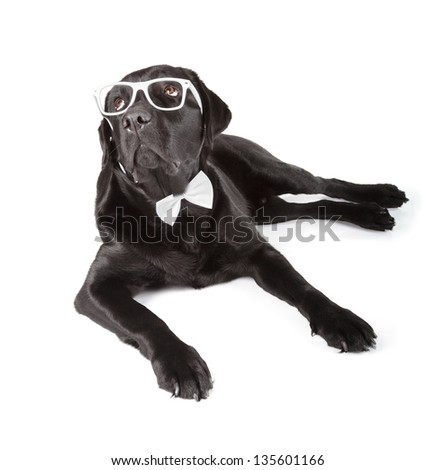 Black Labrador Retriever 16 months old isolated on white background
