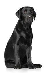 Black Labrador Retriever on white background