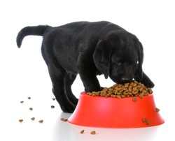 black labrador retriever puppy eating kibble out of a red dog food dish on white background