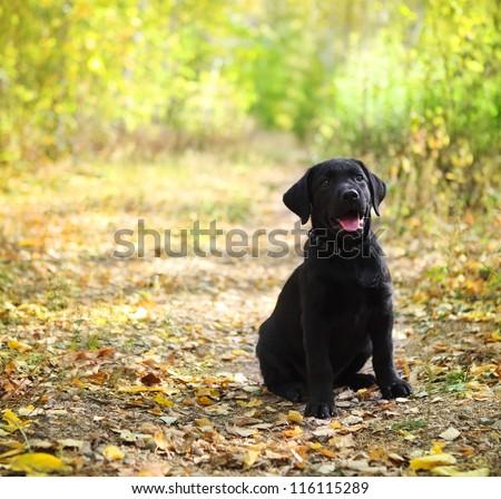 Black labrador retriever puppy in the autumn forest
