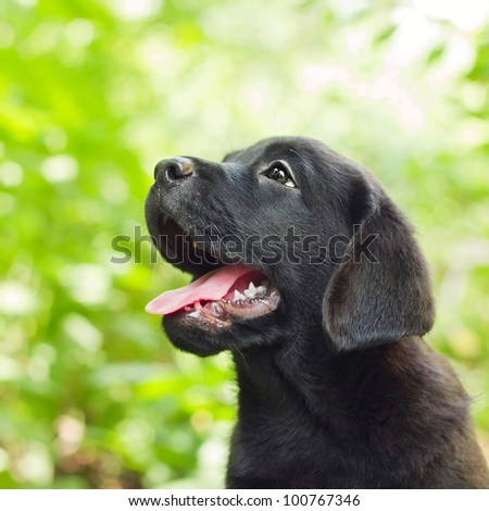 Black labrador retriever puppy in the yard (shallow dof)