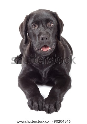 black labrador retriever puppy 3 months old isolated on white background