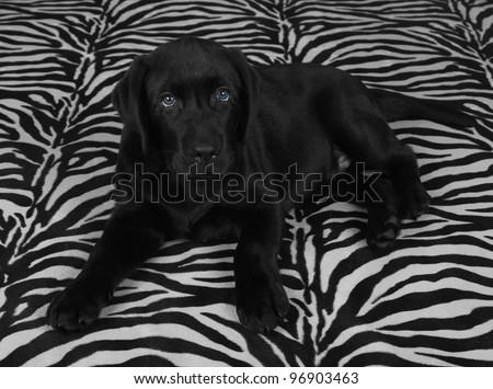 black labrador retriever puppy on zebra background