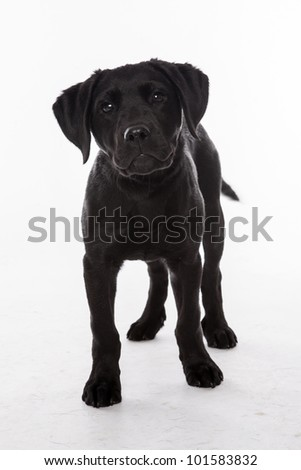 Black Labrador Retriever puppy sitting in front of white background