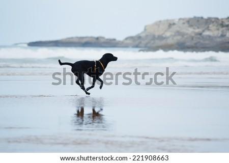 Black labrador retriever running with speed running on the beach, dog run along the beach touching waves, motion