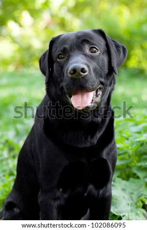 Black Labrador Retriever sitting on green grass background - stock photo