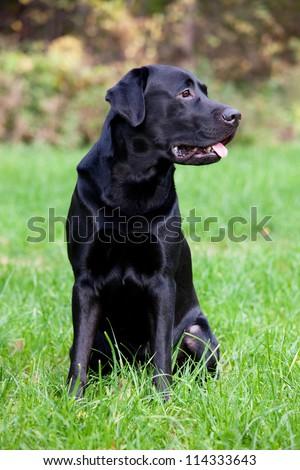 Black labrador retriever sitting on the green grass