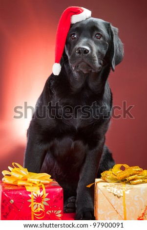 black labrador retriever wearing red cap of santa sitting with presents on red background