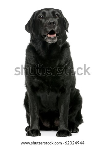 Black Labrador retriever 4 years old, sitting in front of white background