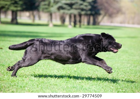 Black labrador running in the park