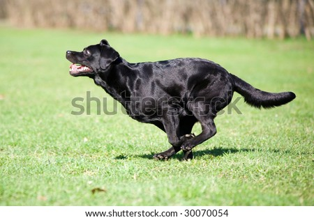 Black labrador running in the park - stock photo