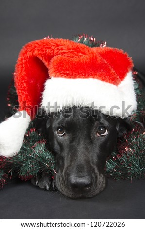 Black labrador with a funny look (wearing a Santa hat)