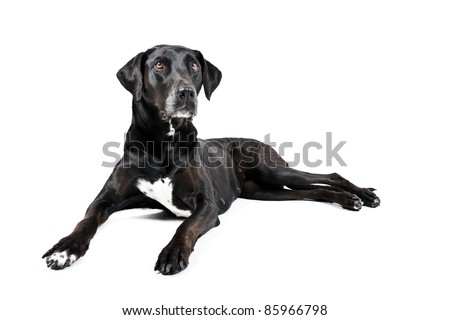 Black labrador with white spot on chest lying down isolated on white background
