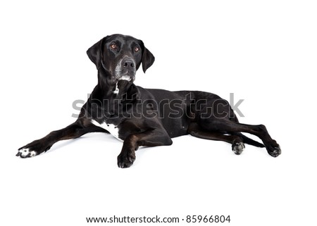 Black Labs with White On Chest
