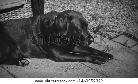 Black Labroador with eyes shut