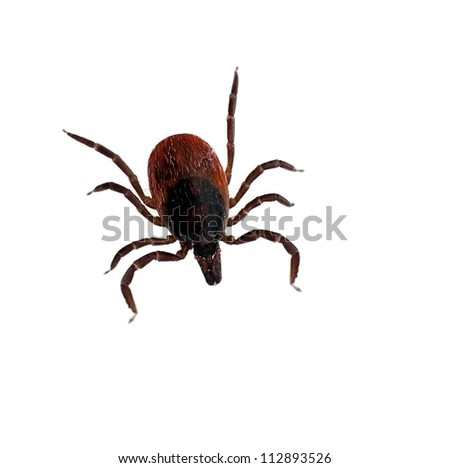 Black legged deer tick over white - Ixodes scapularis