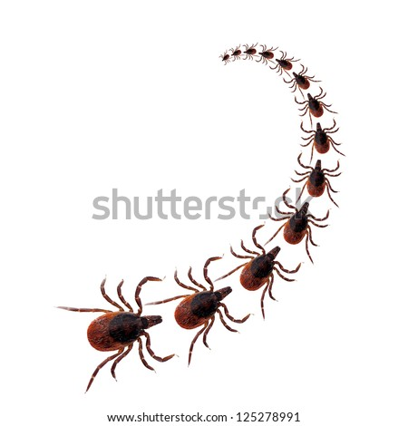 Black legged deer ticks commonly found on dogs, procession over white background