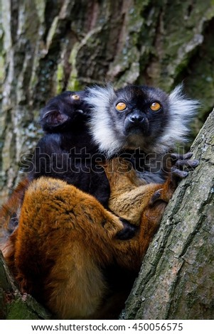 Black lemur young baby with mom (Eulemur macaco)  #450056575