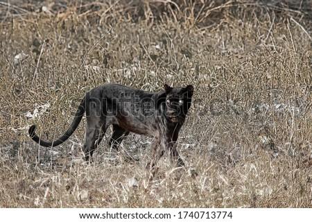 Black leopard also called blacki at Kabini Zdjęcia stock ©