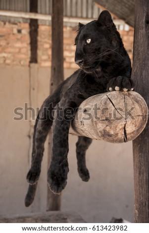 Black Leopard in South-Africa #613423982