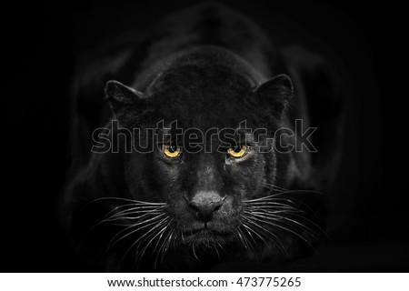 Black leopard looking camera with yellow eyes on black background. The black adult leopard is looking towards the camera. He called also black panther.