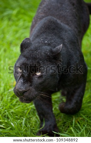 Black leopard Panthera Pardus prowling through long grass in captivity