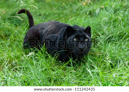 Black Leopard Ready to Pounce in Long Grass Panthera Pardus