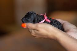 Black little poodle puppy in medium size, portrait. High quality photo
