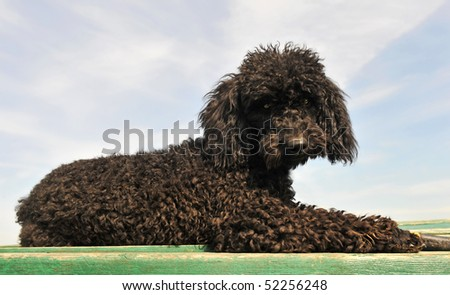 black little purebred poodle laid down on a green table