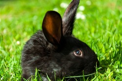 Black little rabbit sits in the grass surrounded by white daisies. Closeup portrait of animal in side view with selective focus on rabbit face.