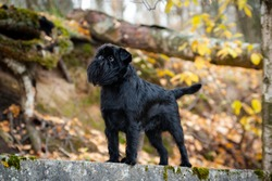 Black little wire-haired mysterious dog Belgian Griffon breed stands on a concrete slab covered with moss outdoors in a park