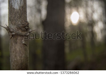 Black locust tree with thorns in the woods in the evening