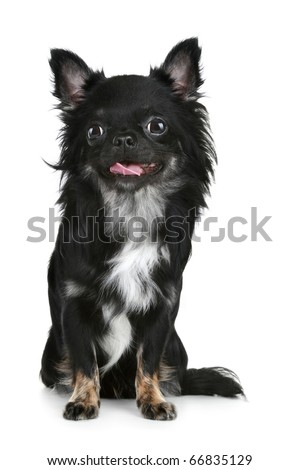long haired chihuahua puppy. long-haired chihuahua