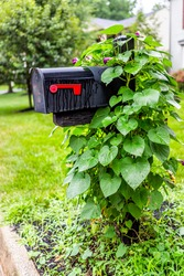 Black mailbox at single family home in residential suburbs with nobody and green morning glory plant creeping climbing on mail box as decoration