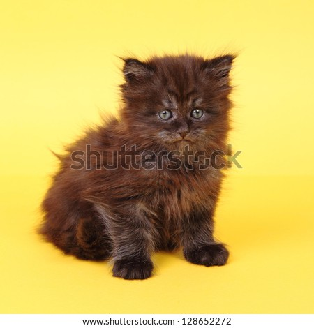 Black Maine Coon kitten on a yellow background