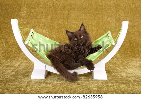 Black Maine Coon kitten on green white hammock