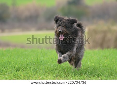 Black male Catalan Shepherd dog outdoors in a field with grass