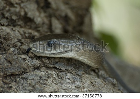 Black Mamba - stock photo
