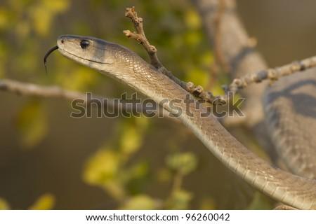 Black Mamba snake (Dendroaspis polylepis) - stock photo