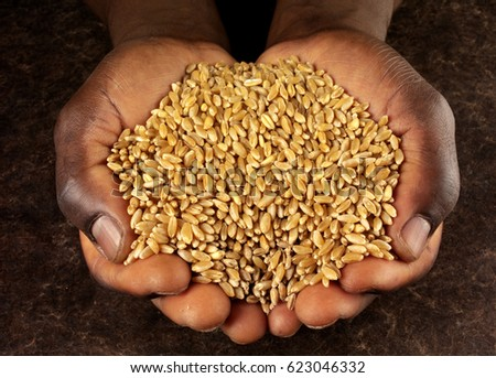 BLACK MAN'S HANDS HOLDING UNCOOKED WHEAT KERNELS