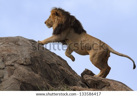 Black-maned lion climbing on top of a boulder with a blue-background sky #133586417